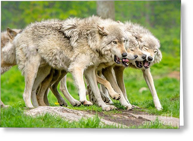 Hairy Wolf Greeting Cards - Timber Wolves Greeting Card by Cheryl Baxter