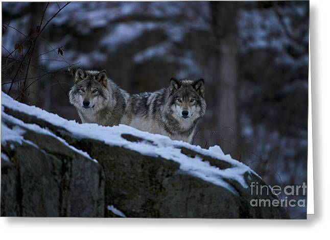 Black. Timber Wolf Photography Greeting Cards - Timber Wolves In Evening Greeting Card by Michael Cummings