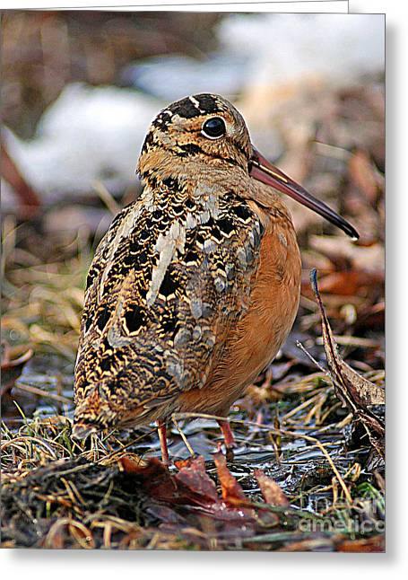 Woodcock Greeting Cards - Timberdoodle the American Woodcock Greeting Card by Timothy Flanigan