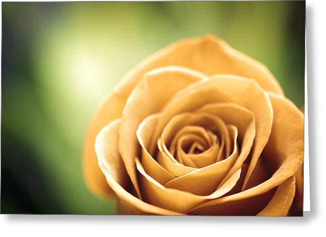 Moving Petals Greeting Cards - Time of Roses Greeting Card by Carolyn Cochrane