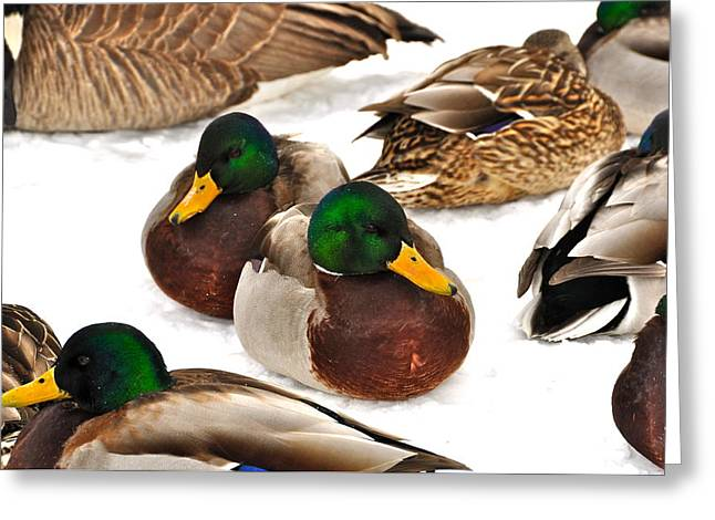 Flocks Of Ducks Greeting Cards - Time Out Greeting Card by Catherine Renzini