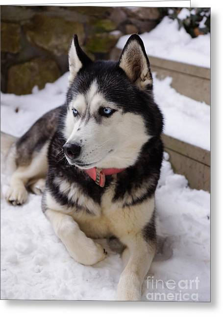 Husky Greeting Cards - Time to Rest Greeting Card by Jennifer White