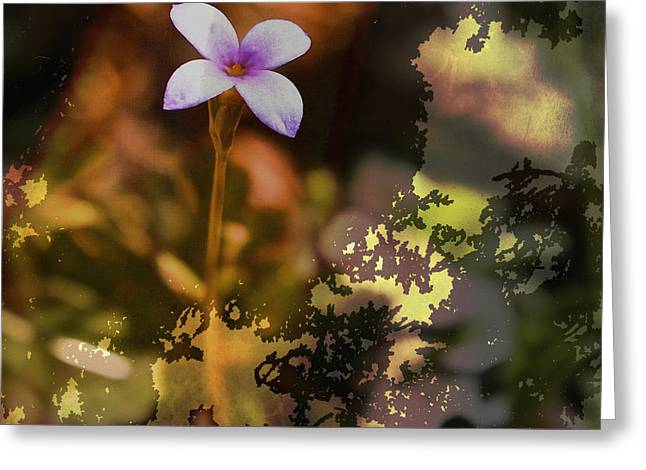 Houstonia Pusilla Greeting Cards - Tiny Bluet Greeting Card by Bellesouth Studio