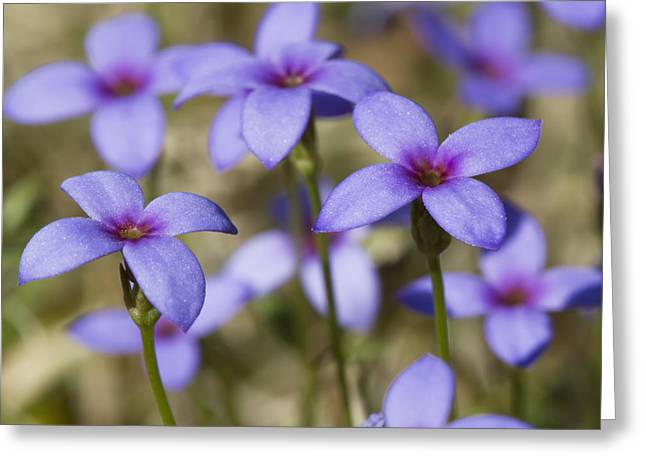 Tiny Bluet Wildflowers Greeting Card by Kathy Clark