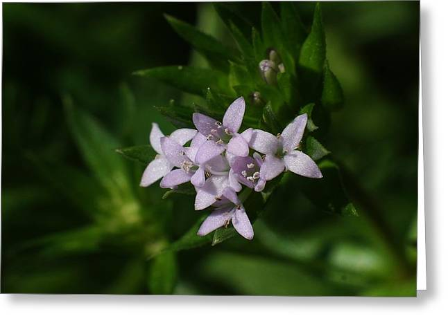Tiny Bluets Greeting Card by Billy  Griffis Jr