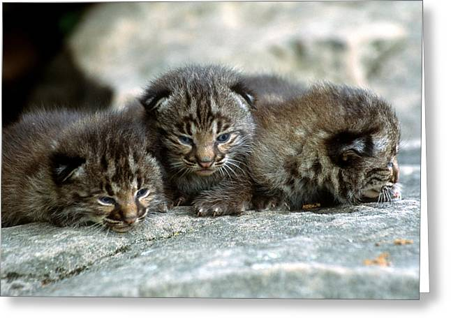 Bobcat Kitten Greeting Cards - Tiny Bobcat Kittens Greeting Card by Larry Allan