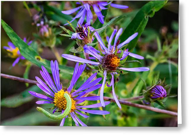 Aster Greeting Cards - Tiny Green Wanderer Greeting Card by Steve Harrington