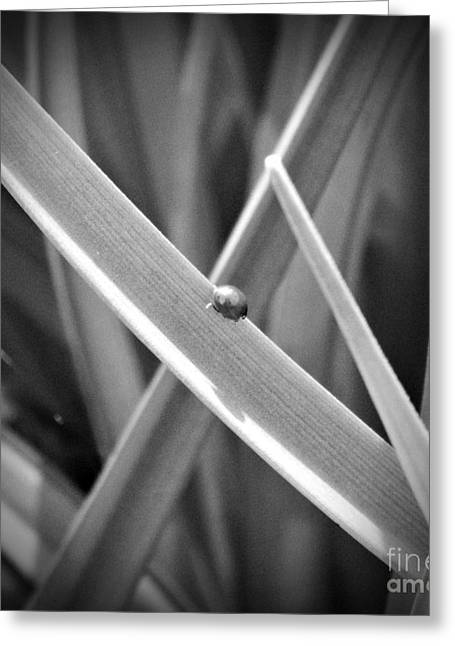 Spotless Greeting Cards - Tiny Ladybug BW Greeting Card by Chalet Roome-Rigdon