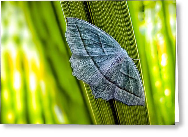 Biology Greeting Cards - Tiny Moth On A Blade of Grass Greeting Card by Bob Orsillo