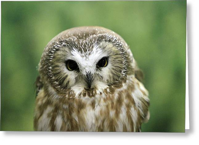 Saw Pyrography Greeting Cards - Tiny Owl Greeting Card by Shoal Hollingsworth