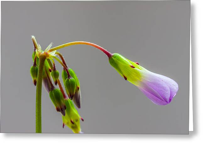 Corymbosa Greeting Cards - tiny Oxalis flower Greeting Card by Craig Lapsley