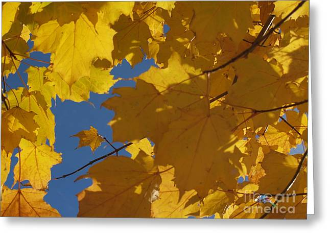 Norway Maple Greeting Cards - Tiny Yellow Maple Leaf in the Blue Greeting Card by Anna Lisa Yoder