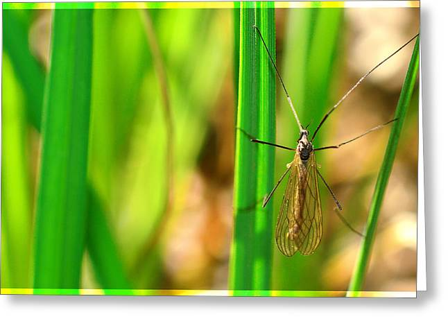 Invertebrates Mixed Media Greeting Cards - Tipula Greeting Card by Toppart Sweden