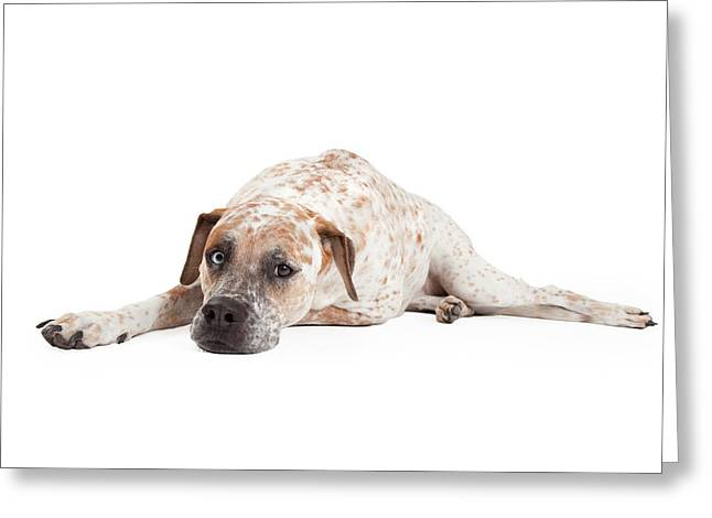 Brindle Greeting Cards - Tired Pointer Crossbreed Laying Greeting Card by Susan  Schmitz