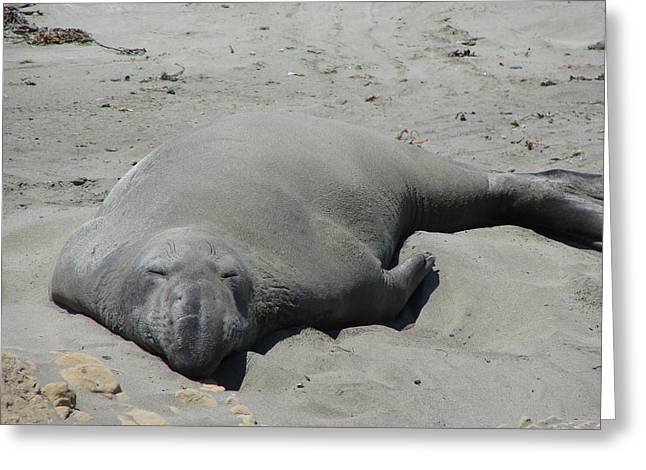 Recently Sold -  - Sea Lions Greeting Cards - Tired Elephant Seal Greeting Card by Cindy Goshko