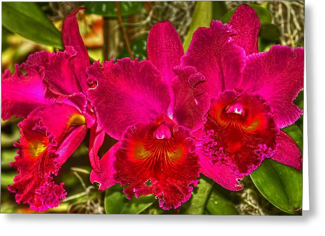 Cattleya Greeting Cards - Tis The Season Greeting Card by HH Photography