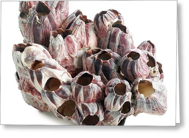 Titan Acorn Barnacles Greeting Card by Science Photo Library