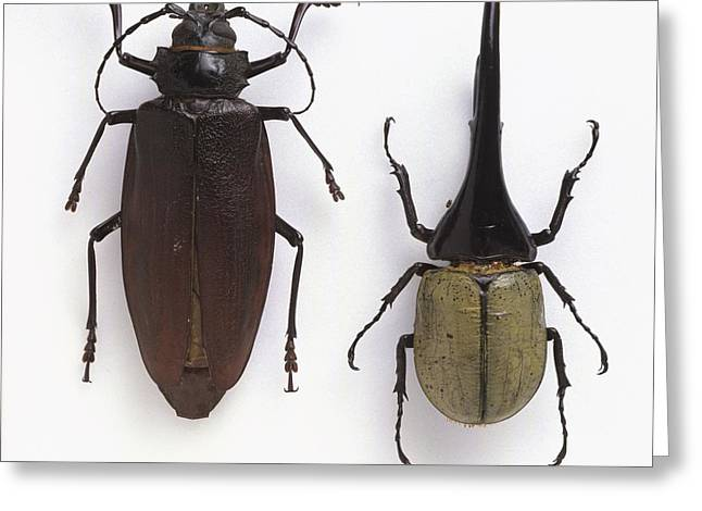 Large Scale Greeting Cards - Titan and Hercules beetles Greeting Card by Science Photo Library