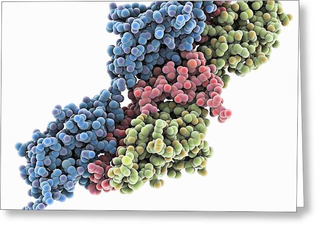 Cut-outs Greeting Cards - Titin-telethonin complex, molecular Greeting Card by Science Photo Library
