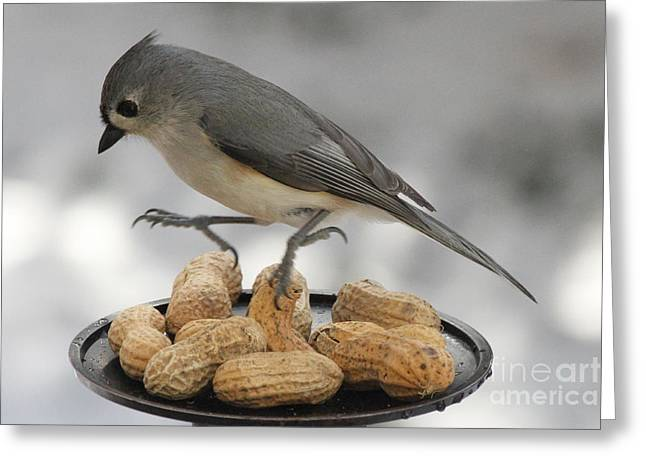 Tufted Titmouse Greeting Cards - TItmouse Dance Greeting Card by Heidi Piccerelli