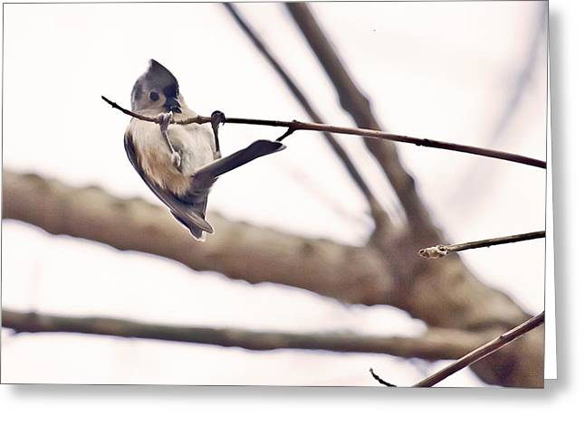 Christmas Greeting Greeting Cards - Titmouse Pull-ups Greeting Card by Francis Sullivan