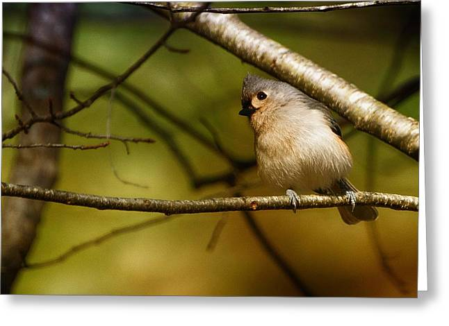 Gray Hair Greeting Cards - Titmouse Greeting Card by Richard Smith