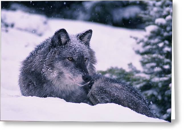 Curled Up Greeting Cards - T.kitchin, 19552c Gray Wolf, Winter Greeting Card by First Light