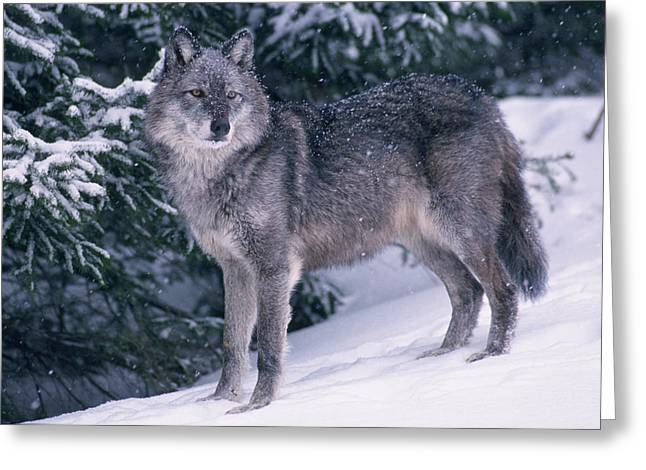 Predacious Greeting Cards - T.kitchin, 19821c Gray Wolf, Winter Greeting Card by First Light