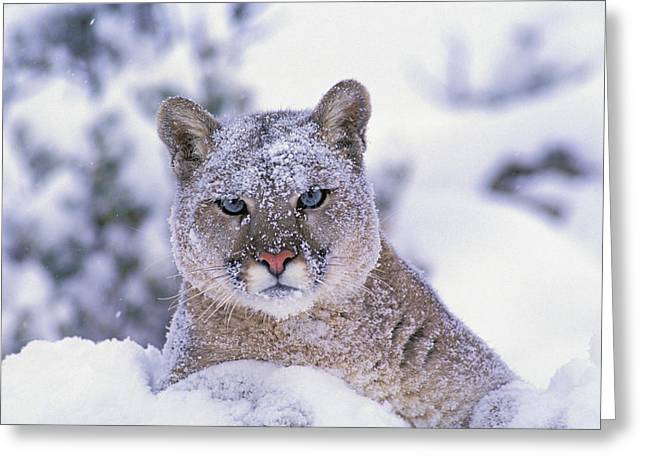 Predating Greeting Cards - T.kitchin 19940c, Mountain Lion Greeting Card by First Light
