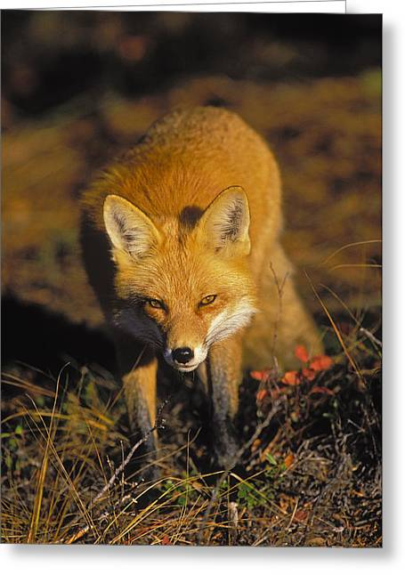 Predacious Greeting Cards - T.kitchin, 6011a Red Fox, Vulpes Vulpes Greeting Card by First Light