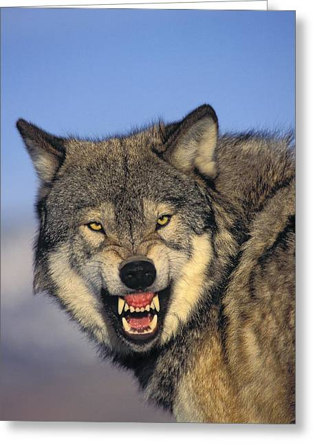 Predaceous Greeting Cards - T.kitchin Wolf Snarling Greeting Card by First Light