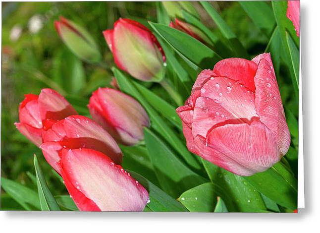 Spring Bulbs Greeting Cards - To Be Hot Or Not Greeting Card by Diane Schuster