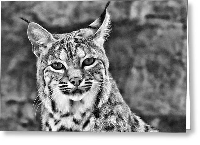 Bobcats Greeting Cards - To Be Seen Greeting Card by Natasha Mohr