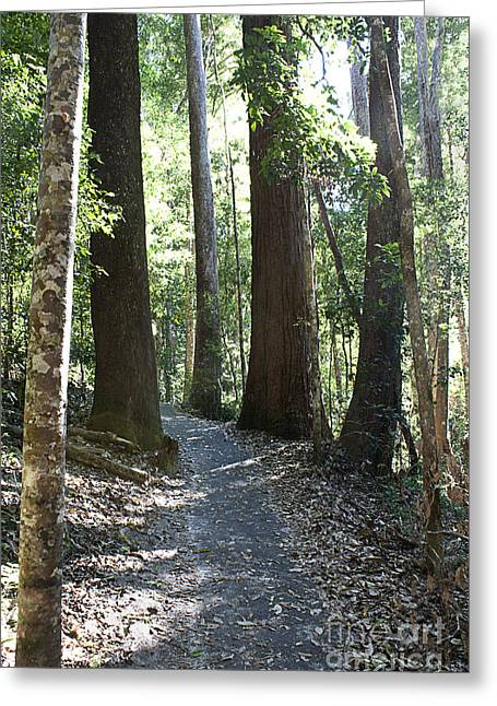 Queensland Kauri Pines Greeting Cards - To walk among giants Greeting Card by Linda Lees