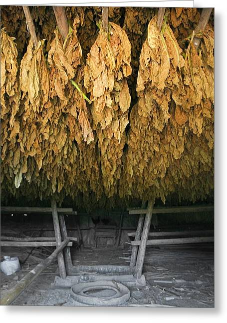 Drying Rack Greeting Cards - Tobacco drying room, Cuba Greeting Card by Science Photo Library