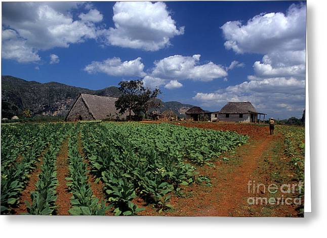 Del Rio Greeting Cards - Tobacco Farm Greeting Card by James Brunker