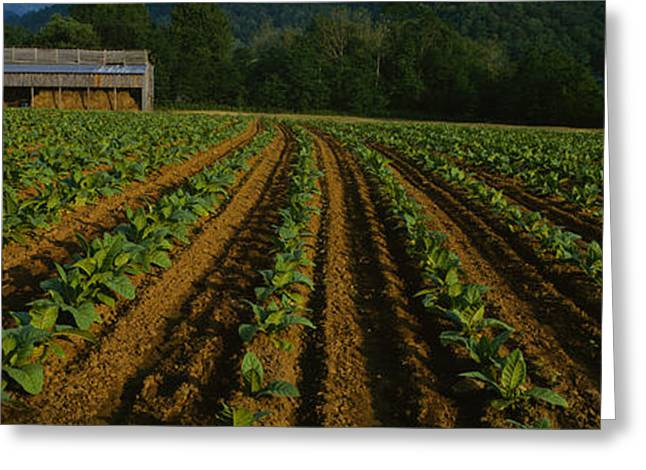 Barn North Carolina Greeting Cards - Tobacco Field With A Barn Greeting Card by Panoramic Images