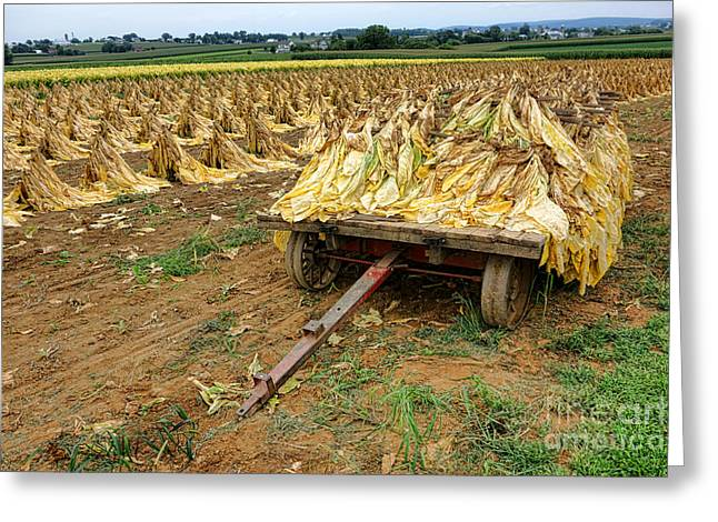 Loaded Greeting Cards - Tobacco Harvest Greeting Card by Olivier Le Queinec