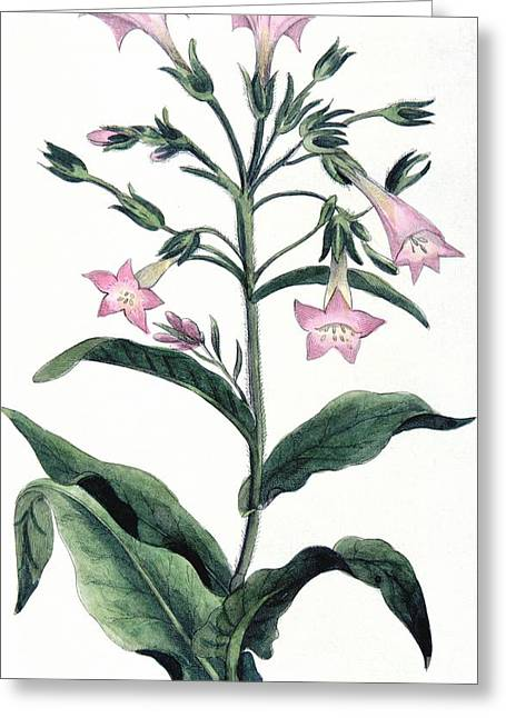 Hand-colored Greeting Cards - Tobacco Nicotiana Tabacum Greeting Card by Anonymous