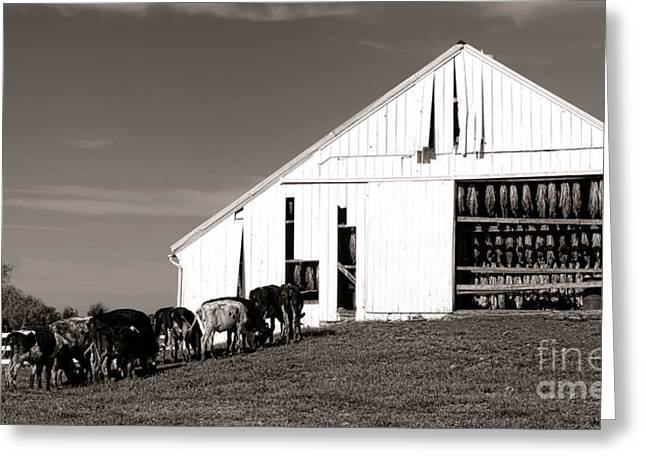 Tobacco Barns Greeting Cards - Tobaccows Greeting Card by Olivier Le Queinec