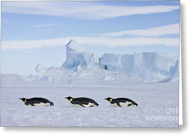 Laying On Stomach Greeting Cards - Tobogganing Emperor Penguins Greeting Card by Jean-Louis Klein and Marie-Luce Hubert