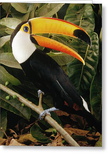 Toco Toucan Ramphastos Toco Calling Greeting Card by Claus Meyer