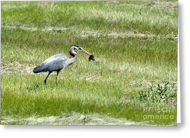 Great Blue Heron Greeting Cards - Todays Catch Greeting Card by Mike Dawson