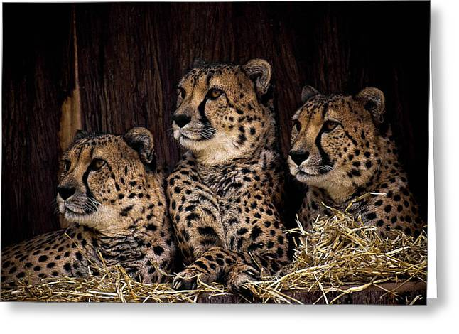 Acinonyx Greeting Cards - Together Greeting Card by Cheri McEachin