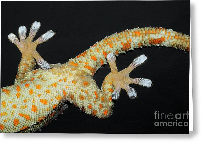 Toe Pad Greeting Cards - Tokay Gecko Feet Greeting Card by Fletcher and Baylis