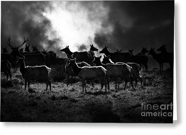 Tule Elks Greeting Cards - Tomales Bay Harem Under The Midnight Moon - 7D21241 - Black and White Greeting Card by Wingsdomain Art and Photography