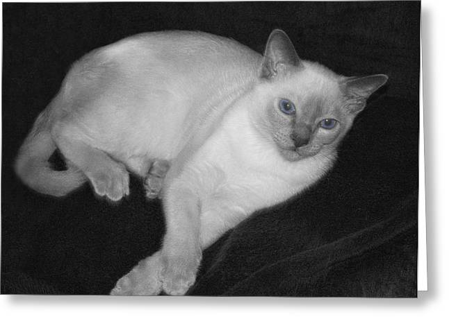 Tonkinese Cat Greeting Cards - Tonkinese Cat in BW with Blue Eyes Greeting Card by Linda Phelps