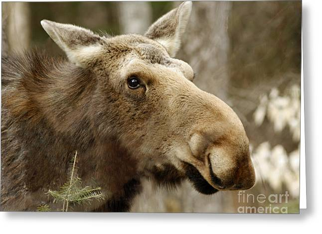 Shelley Myke Greeting Cards - Too Close For Comfort Moose in Algonquin Provincial Park Greeting Card by Inspired Nature Photography By Shelley Myke