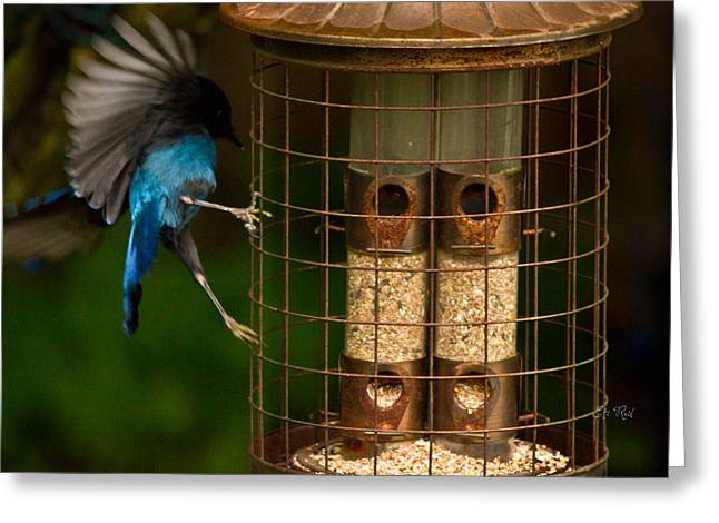 Too Small For A Stellar Jay Greeting Card by Eti Reid