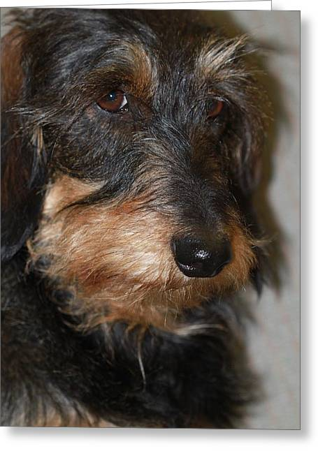 Andrea Lazar Greeting Cards - Top Dog Wirehaired Dachshund in Wooster Ohio Greeting Card by  Andrea Lazar